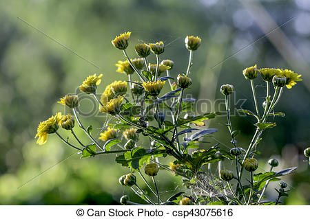 Stock Photography of Chrysanthemum (Compositae).
