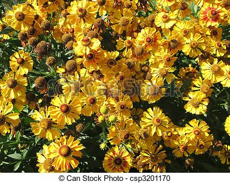 Stock Photography of Blooming gelenium (Helenium), family.