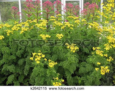 Stock Image of Tansy (Tanacetum), family Compositae k2642115.