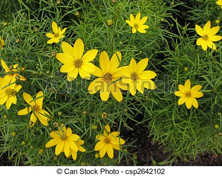 Stock Photo of Cosmos, family Compositae.