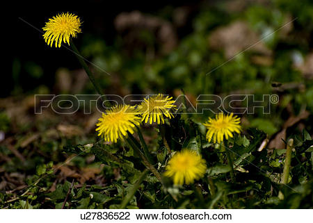 Stock Photo of bloom, blowball, Compositae, dandelion, floret.