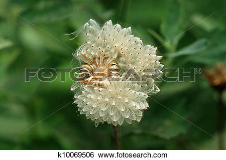 Stock Images of compositae seeds in the wild k10069506.