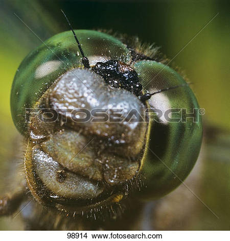 Stock Photo of scarce chaser.