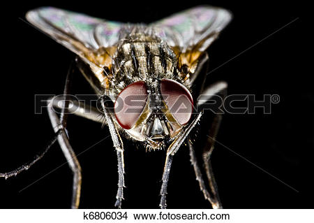 Stock Photo of Hose fly with black background and huge compound.
