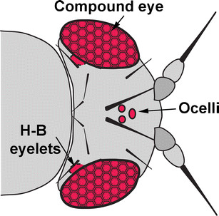 Evolution of Insect Eyes: Tales of Ancient Heritage.