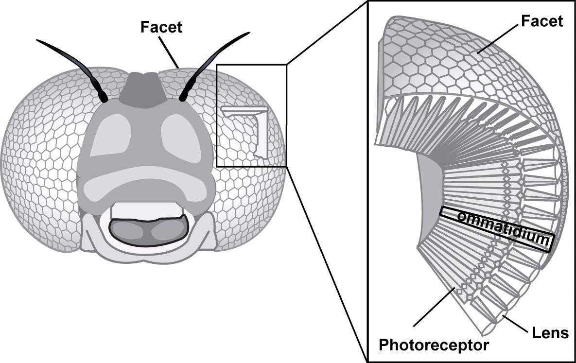 Curved Artificial Compound Eyes.