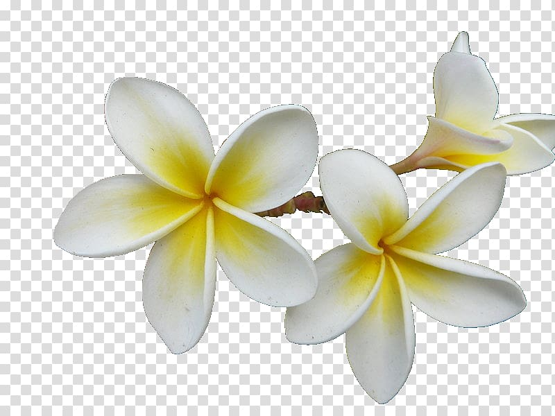 Frangipani Essential oil Aroma compound Fragrance oil.