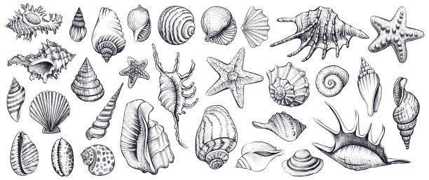 Best Conch Shell Illustrations, Royalty.
