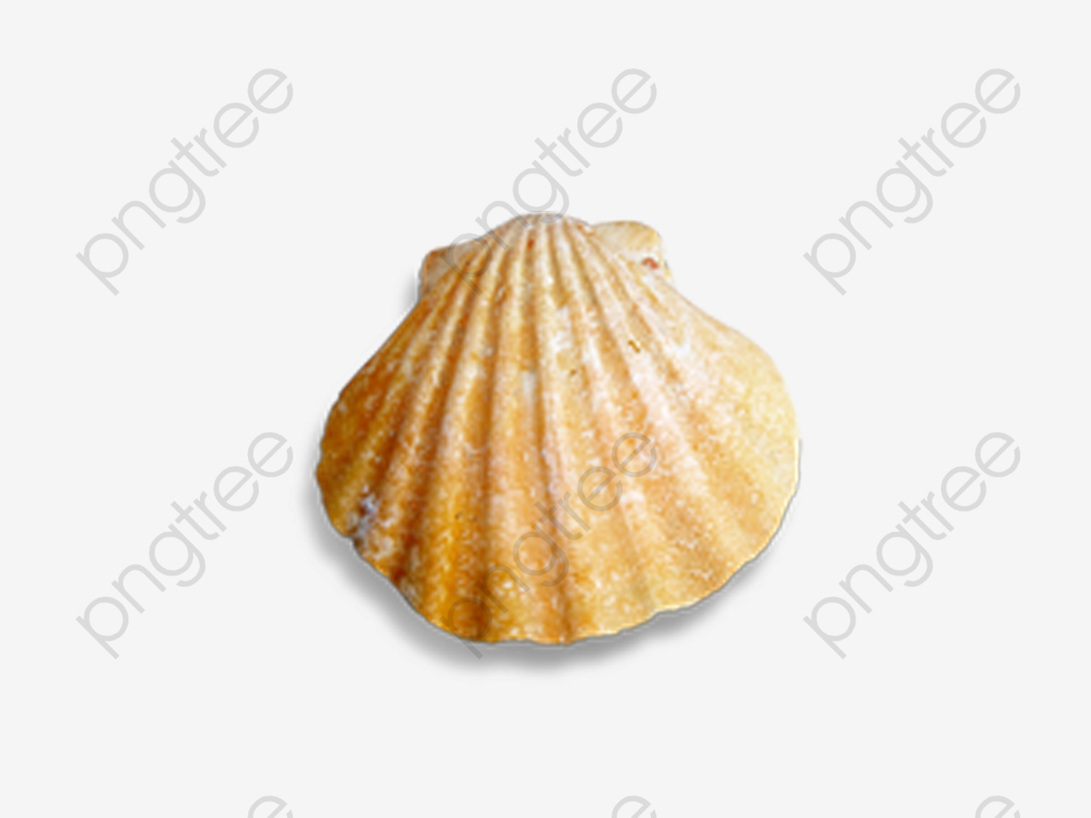Conch Shells And Seashells, Conch, Shell, Seashells PNG Transparent.