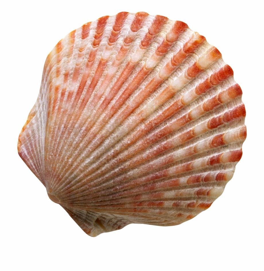 Seashell Png.