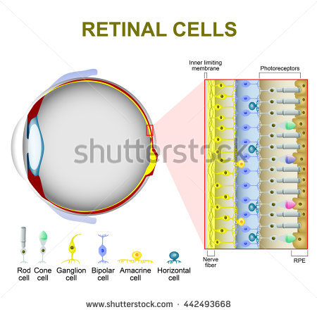 Eye Vision Structure Retina Rods Cones Stock Vector 191036459.