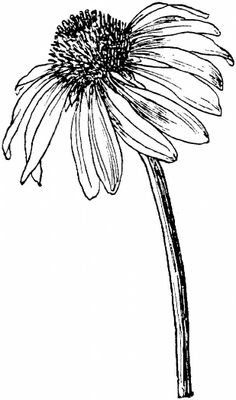 Cone flower clipart.