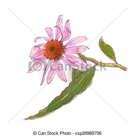 Echinacea Clipart and Stock Illustrations. 219 Echinacea vector.