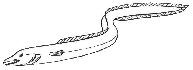 Conger Clip Art Download.