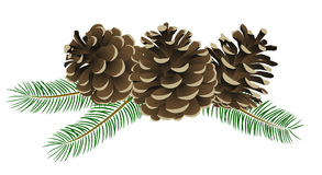 Conifer Stock Illustrations.