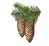 Conifer Illustrations and Stock Art. 1,289 conifer illustration.