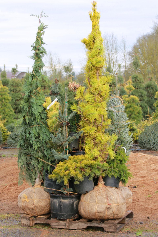 Japanese Maples, Dwarf Conifers, Beautiful Gardens.