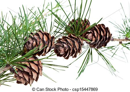 Stock Photography of pine cones on branch of conifer tree.