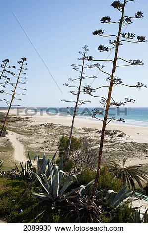 Stock Photography of Tall plants growing along a path by the beach.