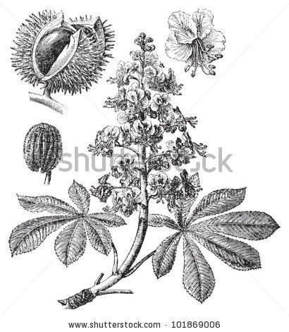 1000+ images about horse chestnut tree on Pinterest.