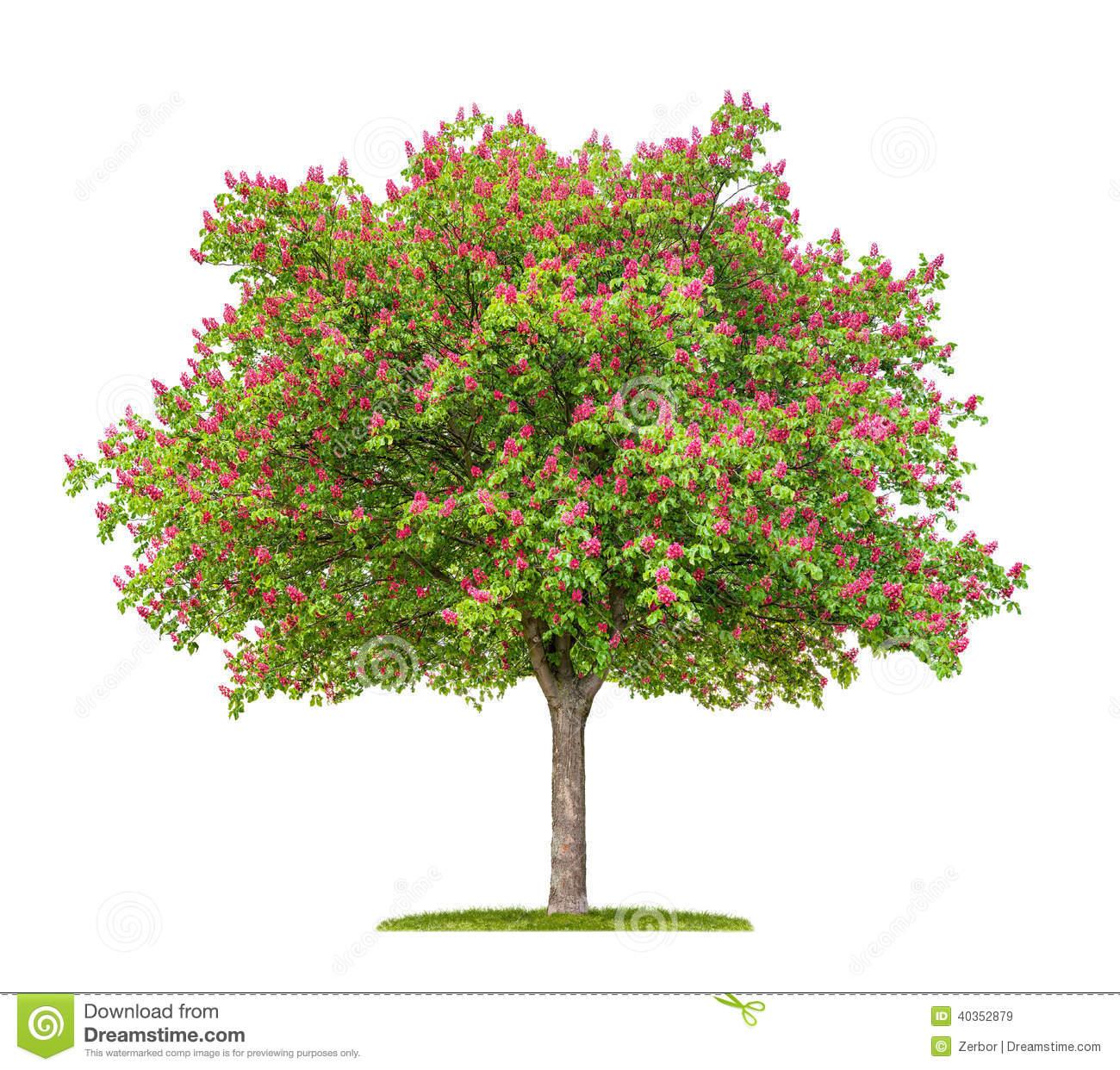 Isolated Horse Chestnut Tree Stock Image.