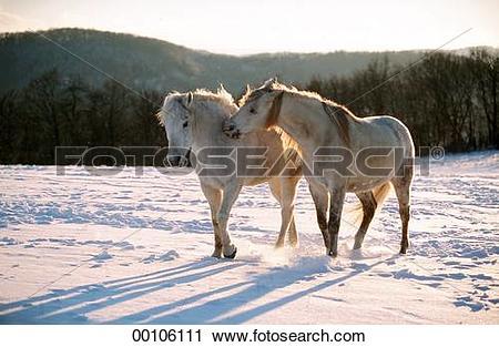 Stock Photography of Connemara, Connemara horse, Connemara horses.