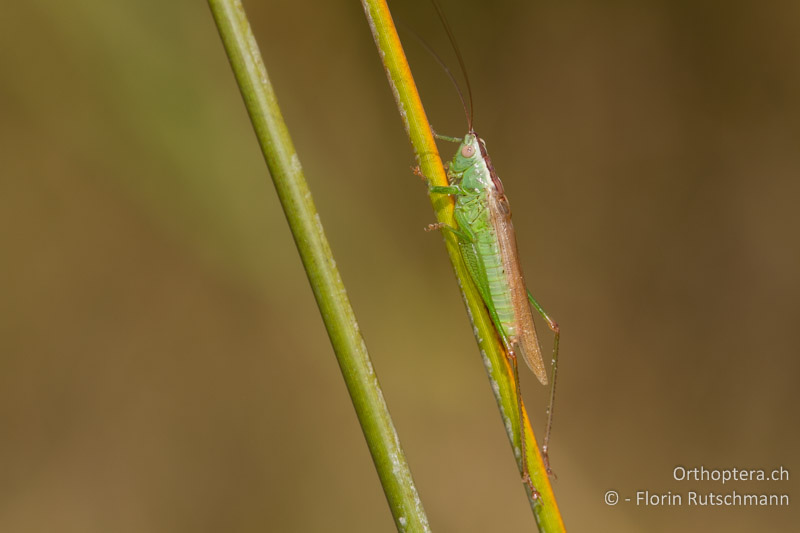 Orthoptera.ch.