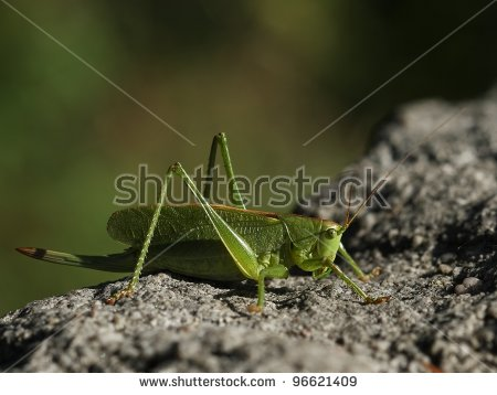 Conocephalus Stock Photos, Royalty.