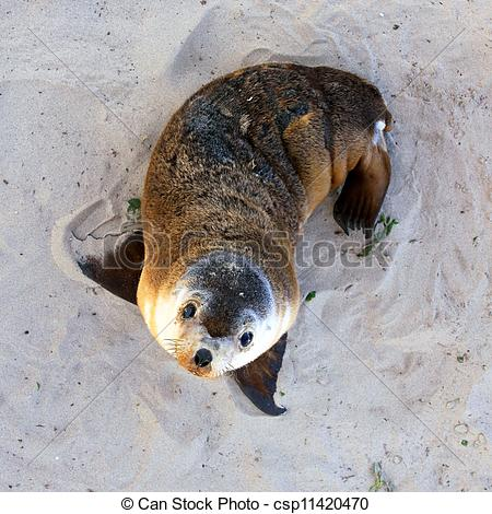 Picture of Young Australian Sea Lion Pup. Seal Bay Conservation.