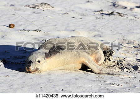 Stock Images of Australian Sea Lion, Seal Bay Conservation Park.