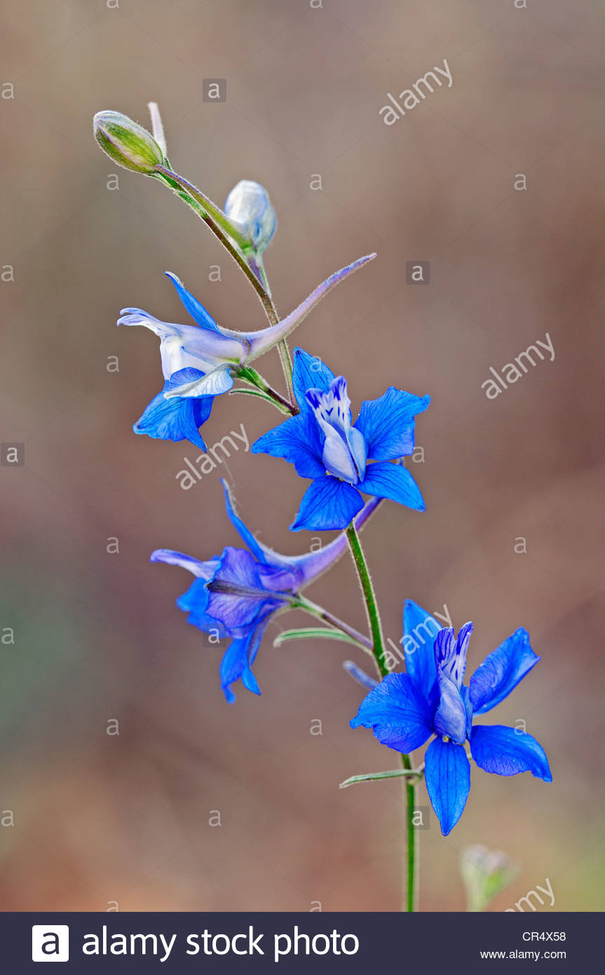 Doubtful Knight's Spur, Rocket Larkspur (consolida Ajacis.