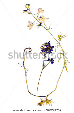 Consolida Regalis Flower, Also Known As Forking Larkspur, Rocket.