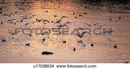 Stock Photo of lake, birds, gulls, calf, bregenz, Lake Constance.