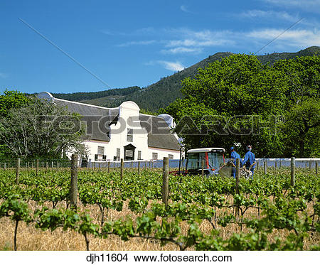Stock Photo of Workers in the Vineyards at Groot Constantia.