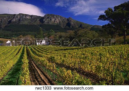 Stock Photo of Vineyard at Buitenverwachting Winery located in.