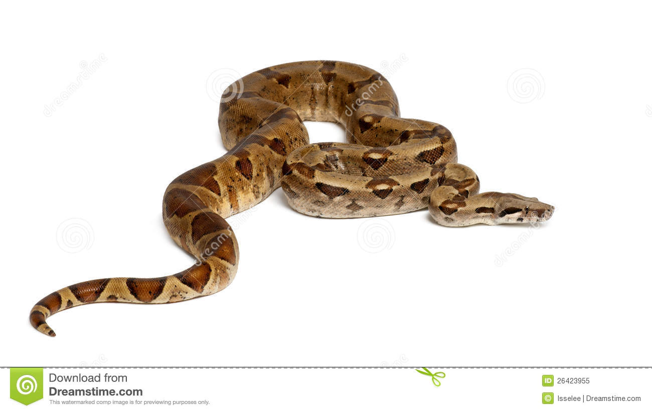 Boa Constrictor Imperator Royalty Free Stock Photo.