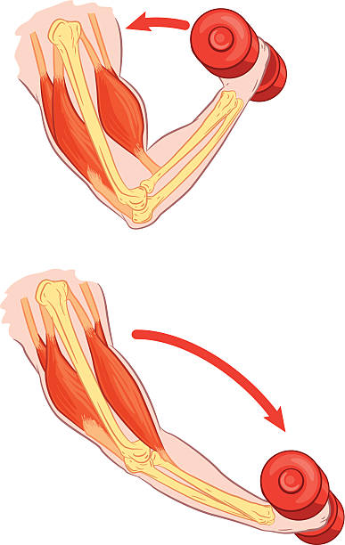 Best Muscular Contraction Illustrations, Royalty.