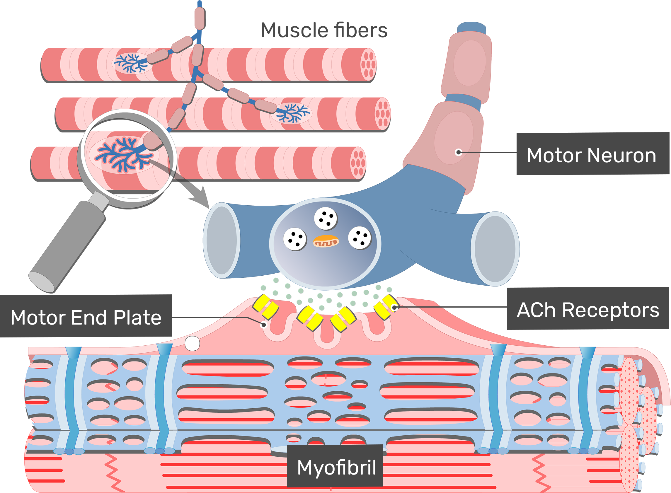 Muscle Clipart Muscle Contraction , Transparent Cartoon.