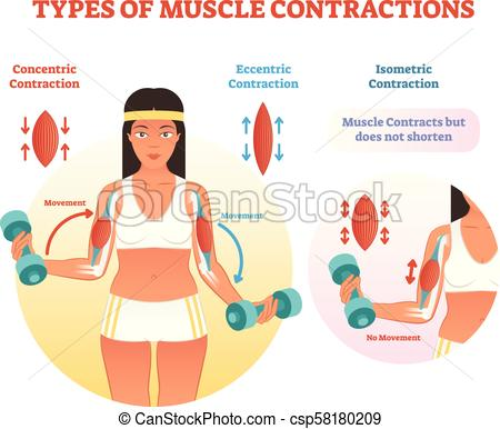 Types of muscle contractions with arm cross section and weight lifting  movement..