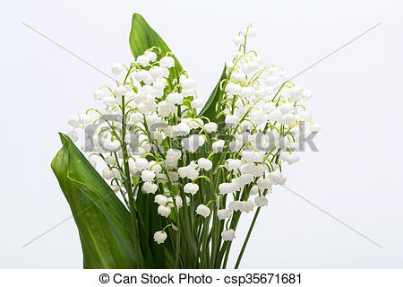Pictures of Lily of the Valley (Convallaria Majalis) isolated on.