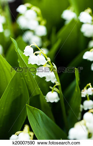 Stock Photography of Lily of the valley flowers with water drops.