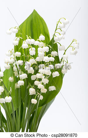 Picture of Lily of the Valley (Convallaria Majalis) isolated on.