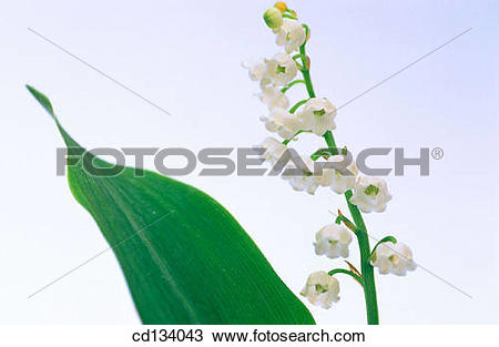Stock Photo of Lily of the Valley, Convallaria majalis cd134043.