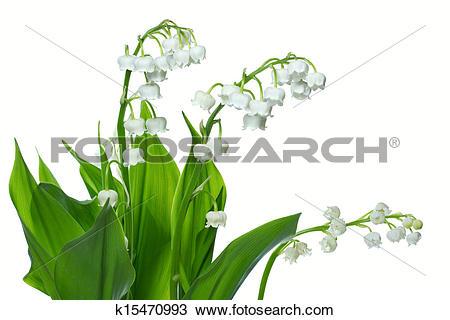 Stock Photo of Lily of the valey (Convallaria majalis) k15470993.
