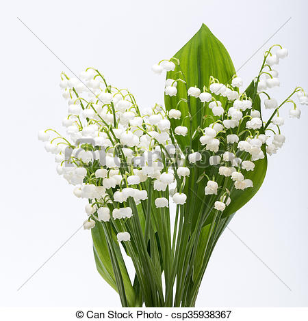 Stock Image of Lily of the Valley (Convallaria Majalis) isolated.