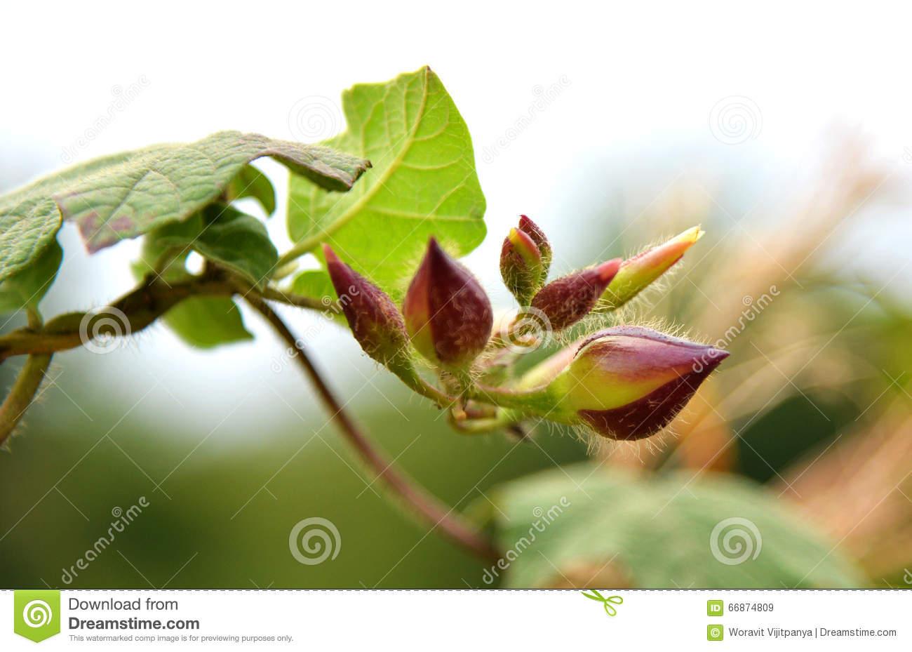 Convolvulaceae Stock Photo.