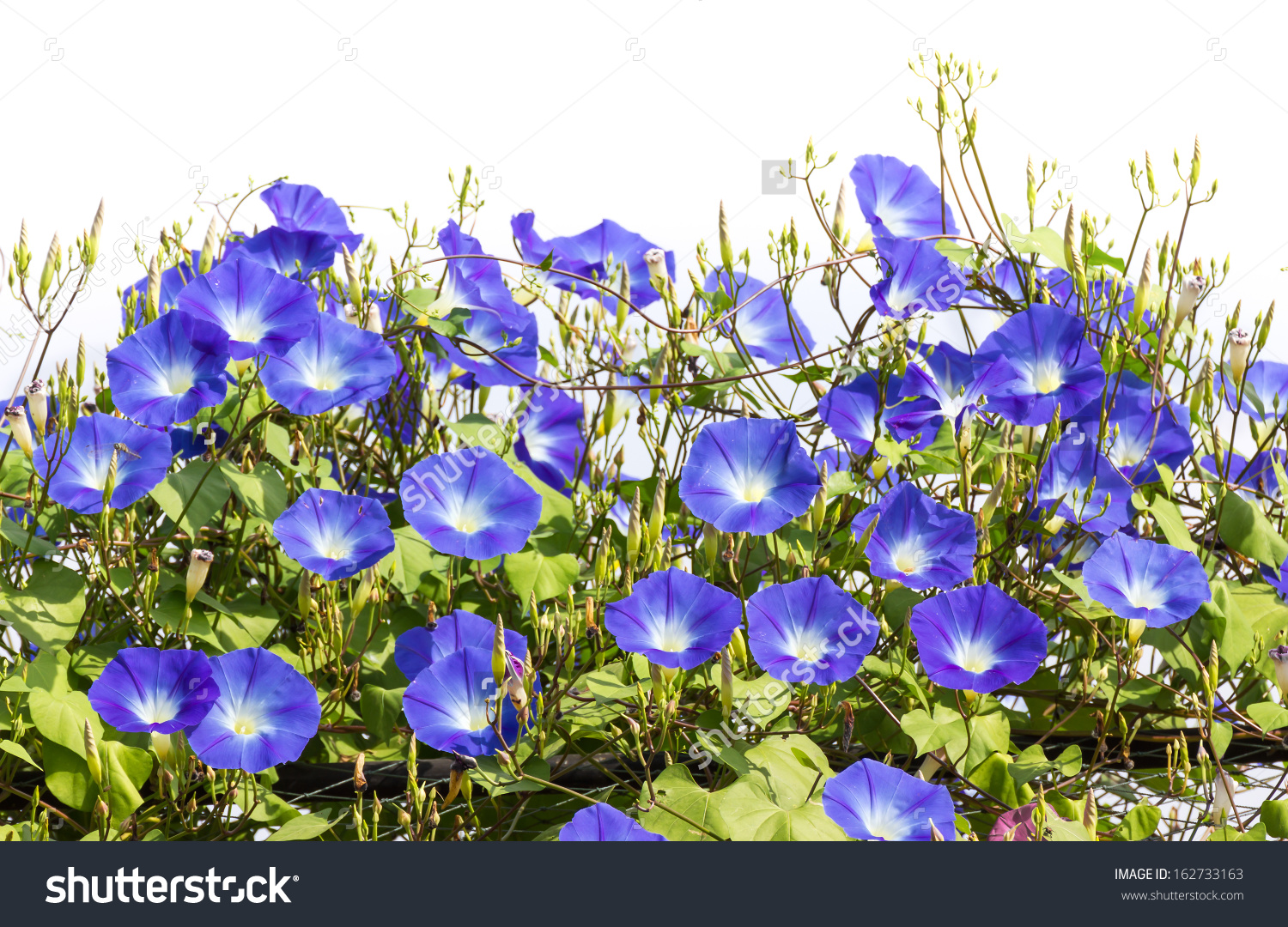 Morning Glory Ipomoea Flowering Plants Family Stock Photo.