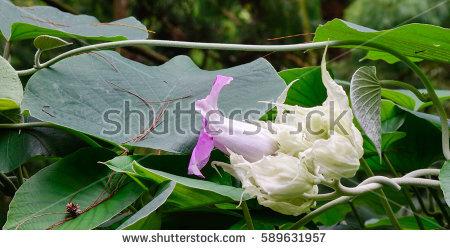 Convolvulaceae Foto, immagini royalty.