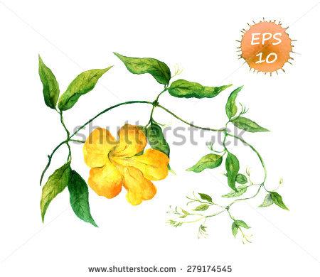 Convolvulaceae Stock Vectors & Vector Clip Art.