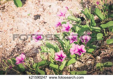 Picture of Morning glory or Convolvulaceae flowers vintage.